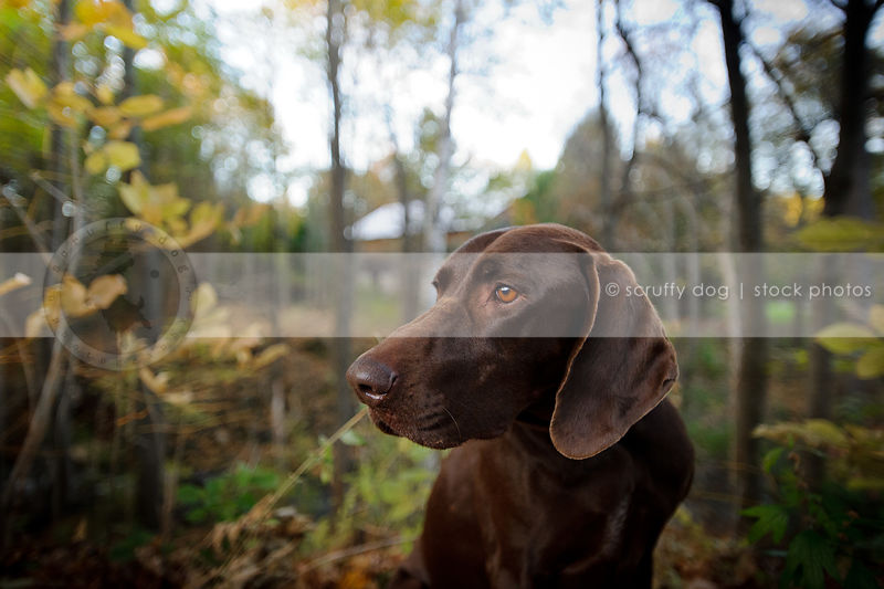headshot of handsome brown gundog at attention in forest