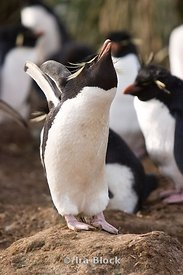 Rock Hopper Penguins