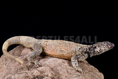 Chuckwalla (Sauromalus ater) photos