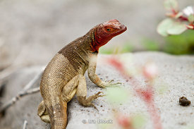 A lava lizard sporting it's read neck and face crawls over a rock on Espanola Island.