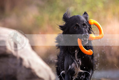 soaked longhaired retriever cross dog carrying bringing toy
