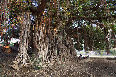 Enormous fig tree at Ajaypal, Rajasthan, India. This is the single largest tree within 20 kilometers of Pushkar, with a crown diameter of 150 feet. It's home to langur monkeys. Fig trees are sacred to Hindus and are commonly found at temples. This temple site dates to the 7th century.