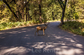 Mule Deer Crossing Road in Yosemite National Park