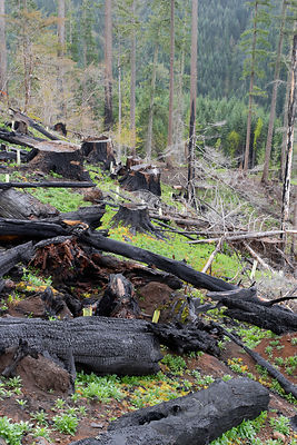 Burnt stumps after logging an old growth forest on the Willamette national forest, Oregon.