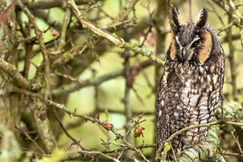 November - Long-eared Owl