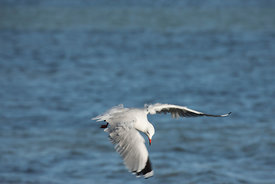 A Silver Gull in flight