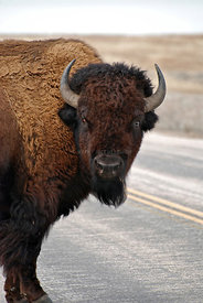 Buffalo_in_road