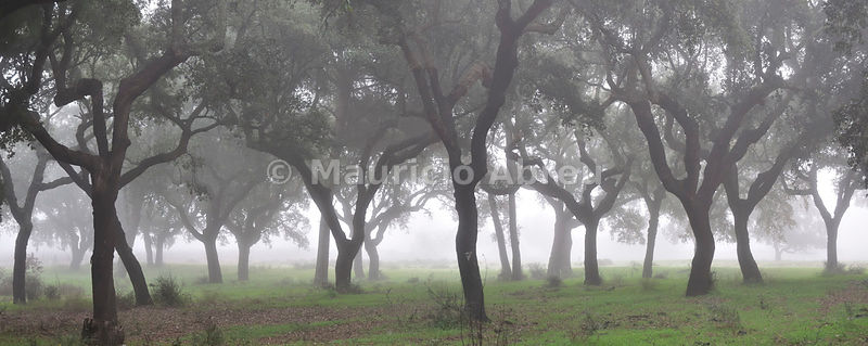 Cork trees in the mist. Portugal