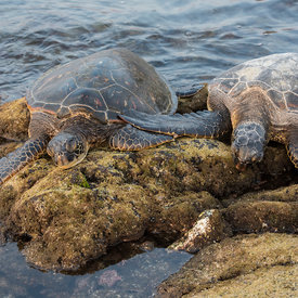 HAWAIIAN GREEN SEA TURTLE wildlife photos