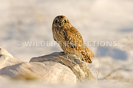 Short Eared Owl Rock 1
