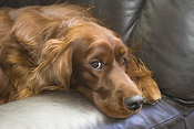 Irish setter on couch