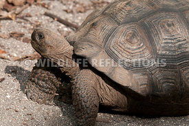 galapagos_giant_tortoise_young_4