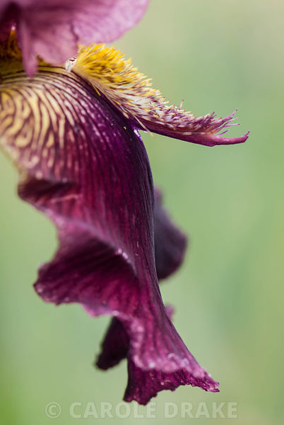 Iris 'Devil's Spoon', known as a doiuble space ager as it has both horn and a spoon. The Iris Garden, Bridport, Dorset, UK