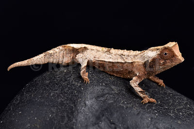 Decary's Leaf Chameleon (Brookesia decaryi)  photos