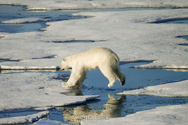 A polar bear making jumps between two ice floes in Northern Storfjorden.