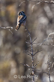 Northern Hawk Owl (Surnia ulula) hunting from atop one of the fire-killed subalpine conifers of Meadows Campground during one of the species' rare irruption visits to Washington State, Okanogan National Forest, North Cascade Mountains, USA, October, 2008_WA_6524