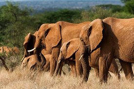 Family of elephants by the forest