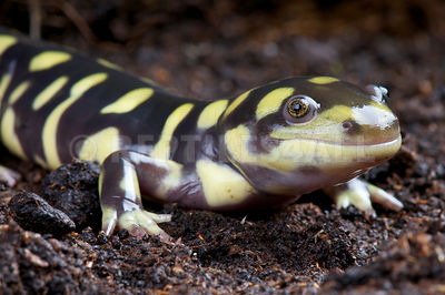 Tiger salamander (Ambystoma tigrinum) photos
