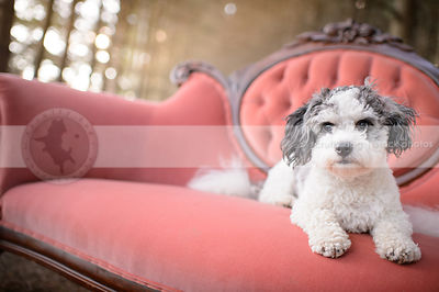 small grey and white groomed dog lying on antique settee outdoors