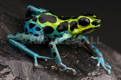 Zimmermann's poison frog / Ranitomeya variablis  photos