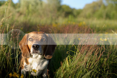 portrait of beagle dog staring from meadow grass in summer