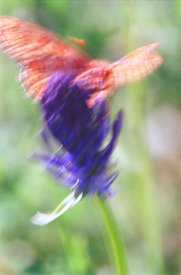 Blur butterfly and flower, Franche-comte, France