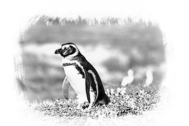 41_Penguin_South_America_sketch_300