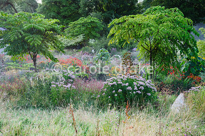 View down onto multicoloured herbaceous planting including Eupatorium cannabinum, persicaria, heleniums and crocosmias set amongst large leaved trees, Paulownia tomentosa and Aralia echinocaulis.