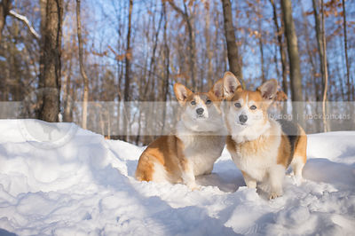 two corgis standing together in winter snow forest