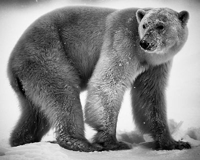 9940-Polar_bear_Baffin_Island_Canada_2016_Laurent_Baheux