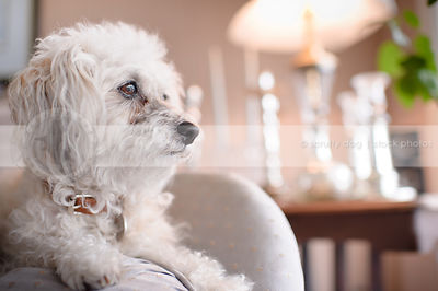 headshot of small cute groomed dog lying on chair indoors