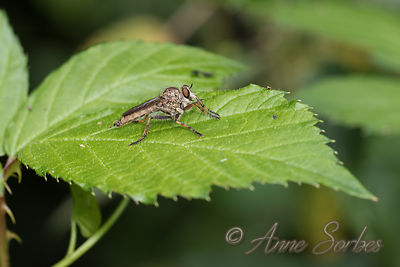 Robberflies (Asilidae) photos