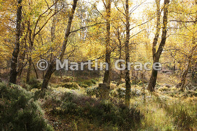 Autumnal birch woodland (Betula sp) backlit by the sun, Glen Feshie, Inverness-shire, Scotland