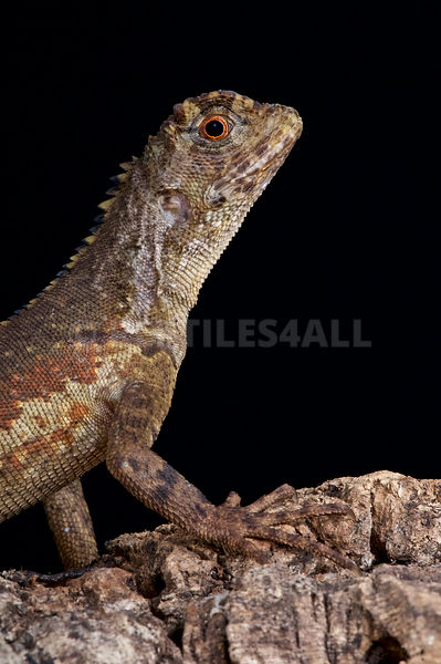 Diving lizard (Uranoscodon supercilious)  photos