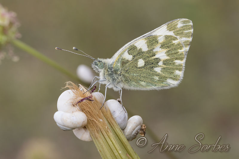 Bath White (Pontia daplidice) photos