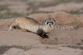 ferret_preburrow_pose-1
