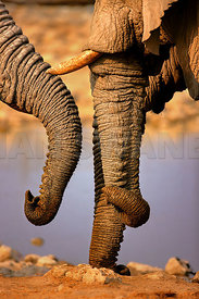 Elephant trunks interacting close-up