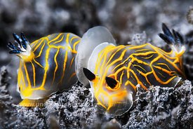 Nudibranches - Nudi - Limaces de mer translucides