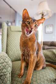 Abyssinian cat on chair with tongue out