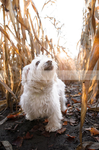 sweet little white dog standing in corn rows with sunflare
