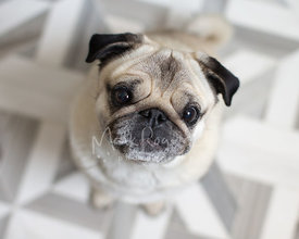 Older Pug Looking Up From Tiled Floor