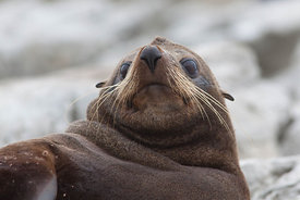 Fur Seal Relaxing