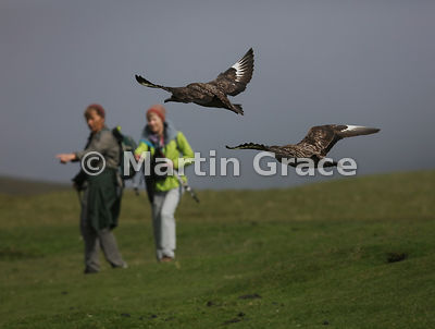 Two Great Skuas (Bonxie) (Stercorarius skua, Catharacta skua) in flight with visitors to Hermaness National Nature Reserve, Unst, Shetland
