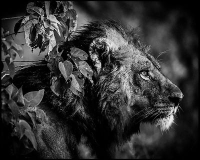 Lion before the skill, Tanzania 2015 © Laurent Baheux