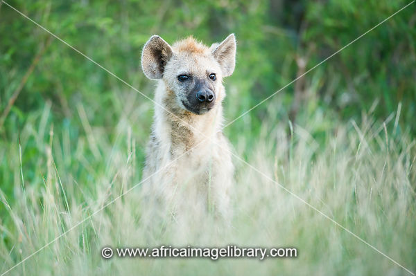 Spotted hyena, Crocuta crocuta, Kruger National Park, South Africa