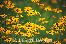 Black Eyed Susans in the Garden