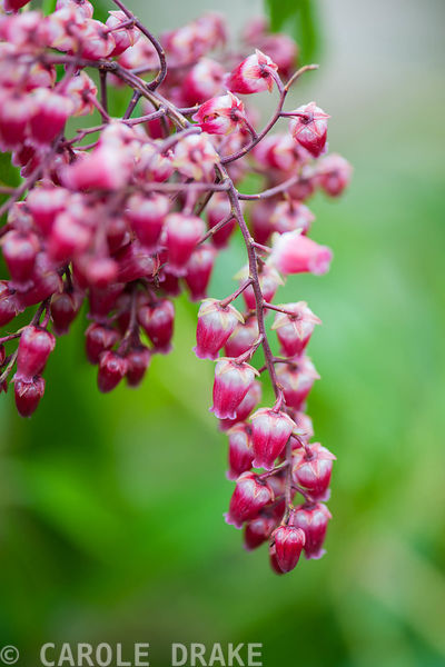 Pieris japonica 'Valley Valentine', AGM. Sir Harold Hillier Gardens, Ampfield, Romsey, Hants, UK