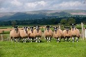 Mule gimmer lambs grazing in pasture. Cumbria