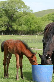 foal_eating_2