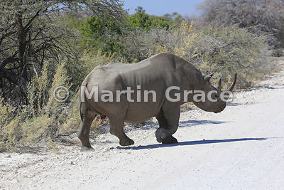 Black or Hook-Lipped Rhinoceros (Diceros bicornis) crossing a road in Etosha National Park, Namibia